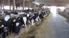 allevamenti bovini